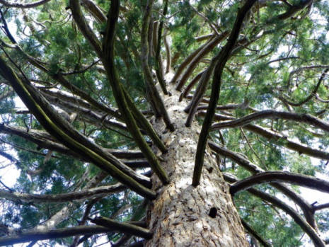 sequoiabranches